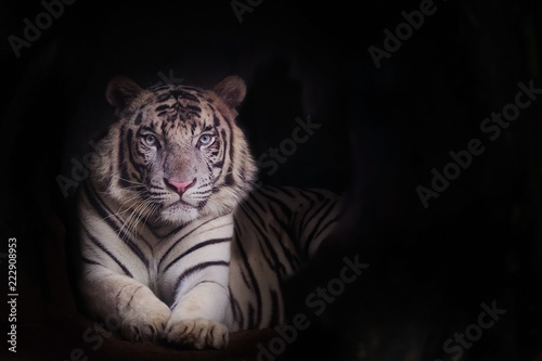 Foto auf AluDibond Tiger The white tiger is a pigmentation variant of the Bengal tiger and copy space for text.