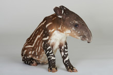 Young Tapir Animal