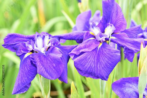 Foto op Canvas Iris 菖蒲の花