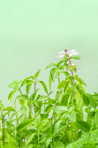 Foto op Aluminium Aromatische Side view of blooming basil plant with copy space