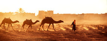 Caravan Of Camels In Sahara De...
