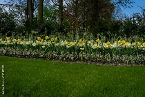 Fototapeta Netherlands,Lisse, White Yellow daffodils obraz na płótnie