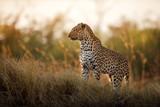 Fototapeta Sawanna - African leopard female pose in beautiful evening light. Amazing leopard in the nature habitat. Wildlife scene with dangerous beast. Hot weather in Africa. Panthera pardus pardus.