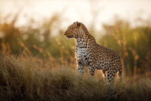 African Leopard Female Pose In...