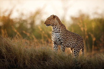 FototapetaAfrican leopard female pose in beautiful evening light. Amazing leopard in the nature habitat. Wildlife scene with dangerous beast. Hot weather in Africa. Panthera pardus pardus.