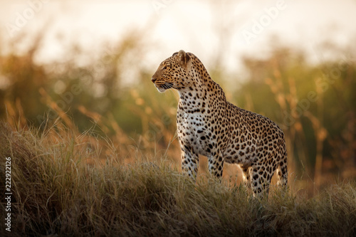 Leopard African leopard female pose in beautiful evening light. Amazing leopard in the nature habitat. Wildlife scene with dangerous beast. Hot weather in Africa. Panthera pardus pardus.
