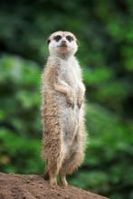 Surricate Meerkats Standing