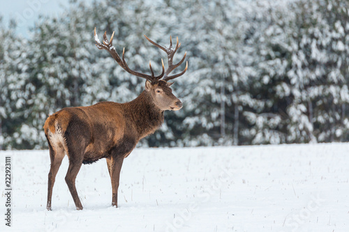 Single adult noble deer with big beautiful horns with snow near winter forest. European wildlife landscape with snow and deer with big antlers.