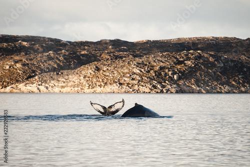 Two humpback whales diving in Atlantic ocean, Greenland