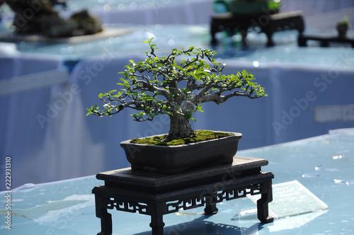 Fotobehang Bonsai Bonsai tree display for public in Royal Floria Putrajaya garden in Putrajaya, Malaysia.