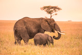 Fototapeta Sawanna - Parent African Elephant with his young baby Elephant in the savannah of Serengeti at sunset. Acacia trees on the plains in Serengeti National Park, Tanzania. Wildlife Safari trip in  Africa.