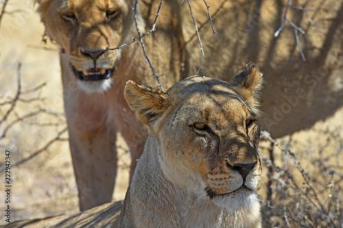 Foto  Löwin (Panthera leo) bei der Mittagsruhe im Etosha Nationalpark (Namibia)