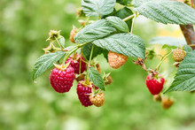 Ripe  Raspberries On Branch Of Raspberry Bush In The Garden On Blurred Green Summer Background, Copy Space, Closeup