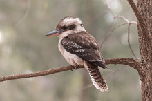 Laughing Kookaburra Perched On...