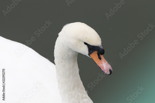 A Beautiful White Swan Close Up Swimming in Water