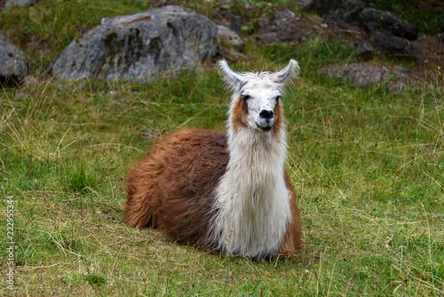 Staande foto Lama Llama sitted on the grass