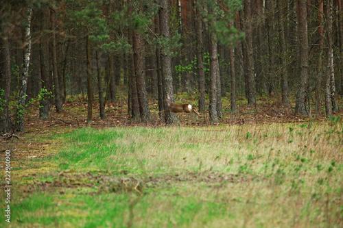 Sarna w lesie