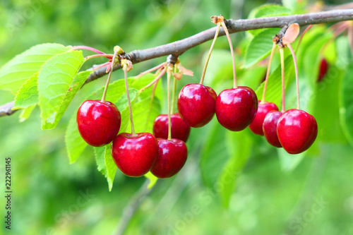 Sweet cherries on branch Fototapete