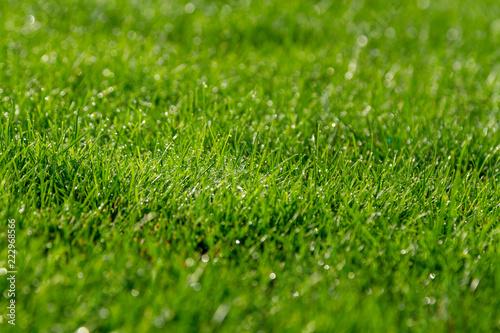 Fotografia  Dew on green grass in bright sunlight