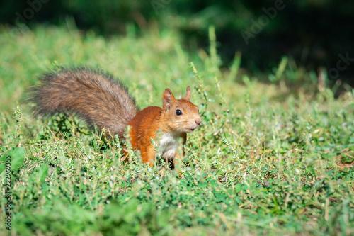 Aluminium Prints Squirrel a squirrel with a nut