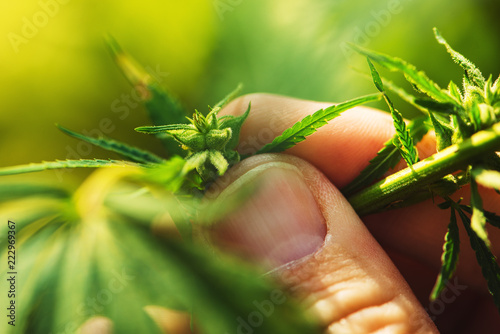 Fototapeta Farmer is examining cannabis hemp male plant flower development obraz