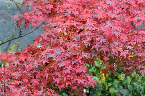 In de dag Candy roze 秋の風情、紅葉や黄葉