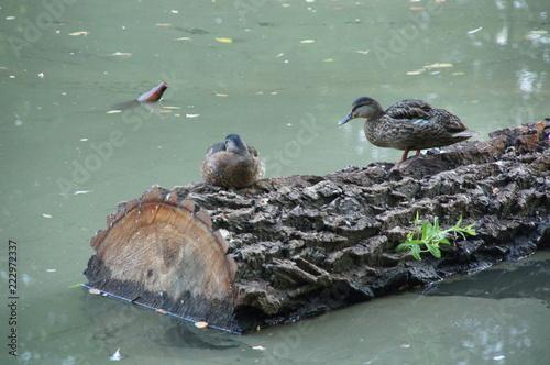 Fotografia, Obraz  dwie kaczki na balu drewna i butelka w wodzie