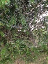 Large Spider Web On Pine Tree