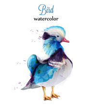 Mandarine Duck Watercolor Vect...