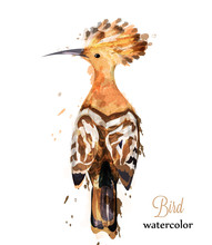 Hoopoe Bird Watercolor Vector....