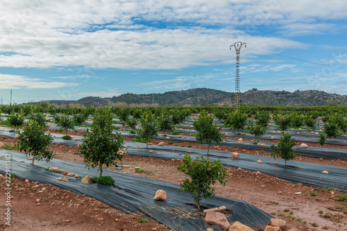 Photo Nyplanterade träd i citrusodling