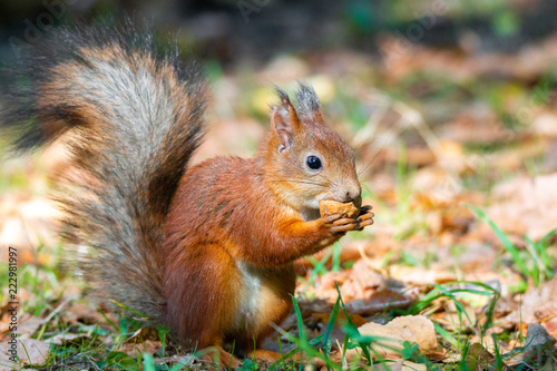 Tuinposter Eekhoorn a squirrel with a nut