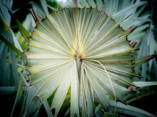 Bismarck Palm Was Cutting Eage...