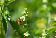 A Honey Bee Collects Nectar From A Freshly Opened White Basil Flower
