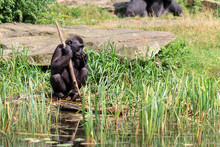 Western Lowland Gorilla (Gorilla Gorilla Gorilla) At The Shore Of A Pond In The Afternoon