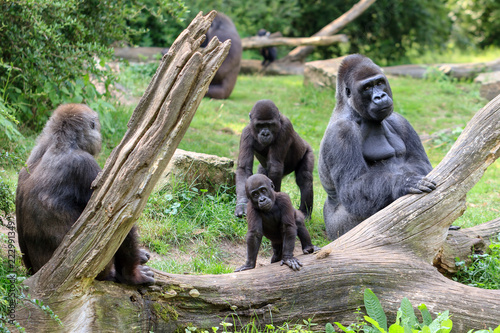 Group of western lowland gorillas (Gorilla gorilla gorilla) with an silverback alpha male