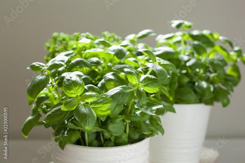 Fotobehang Kruiderij fresh basil and parsley herb in flowerpot