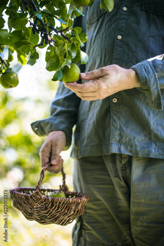 Farmer with Pears. Pears Harvest