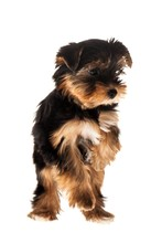 Yorkshire Terrier Puppy Standing On Two Legs