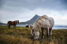 Horses At Kirkjufell, Iceland
