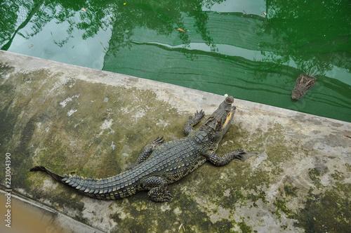 A hungry crocodile in Vietnam