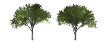 The Collection Of Tree. Elm Tree Isolated On White Background With Clipping Path.