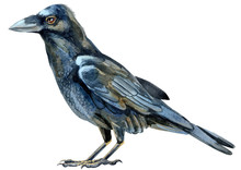 Watercolor Single Raven Isolated On A White Background Illustration.