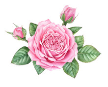 Watercolor Pink Rose With Buds And Leaves Isolated On White Background. Hand Drawn Botanical Illustration.