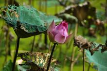 Beautiful Lotus In Vietnam