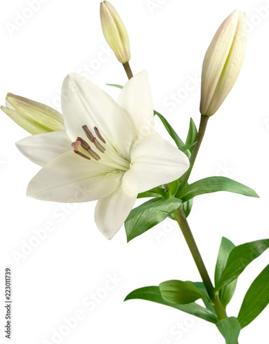Photo  white lily flower