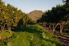 Lemon Orchard With Mountain In...