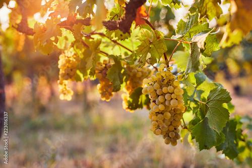 Vineyard at sunrise, yellow grapes on grapevine Canvas Print