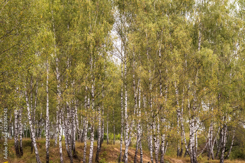 Birch forest in the early autumn.