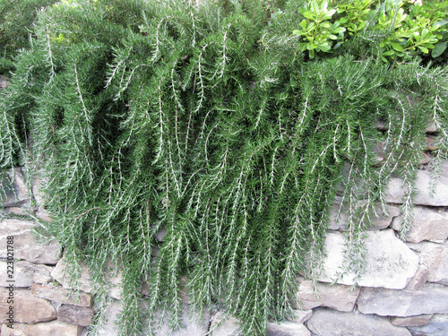 Weeping trailing rosemary plant cascading down a rock wall